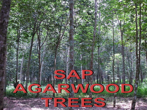 sap agarwood trees